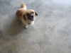 Tibetan Spaniel, 3 years, Brown