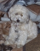 Tibetan Terrier, 3 yrs, white