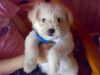 Tibetan Terrier, 3 months old, Cream