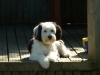Tibetan Terrier, 2, Tri Colour