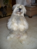 Tibetan Terrier, 4 yo, White, gray