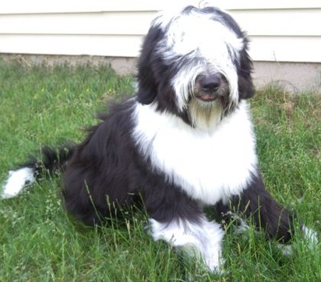 Tibetan Terrier, 7mo, Black and white, Jimmy Chew
