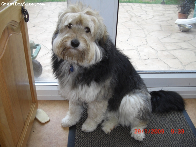 Tibetan Terrier, 3yrs, tri, gourgeous always happy. Knows the names of her toys