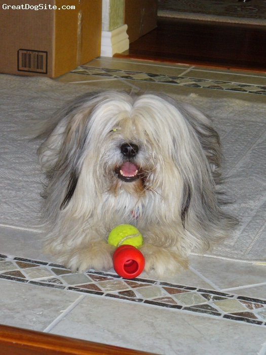 Tibetan Terrier, 4 yo, White, gray, Does not like snow and snaps at other dogs that get on his face. Loves to run and play with a ball. Good guard dog, but not a barker.