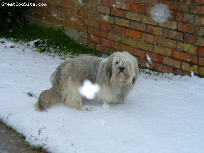 Tibetan Terrier, 4, White, gray, Really, does not like snow.