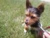 Torkie, 12 months, brown/black