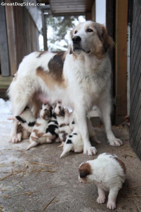 Tornjak, 6, tree colour, Zanka with her last (4th) litter