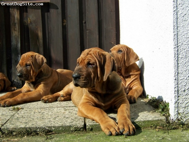 Tosa Inu, 2 months puppies, dark red, Tosa breeding station Diamant severu