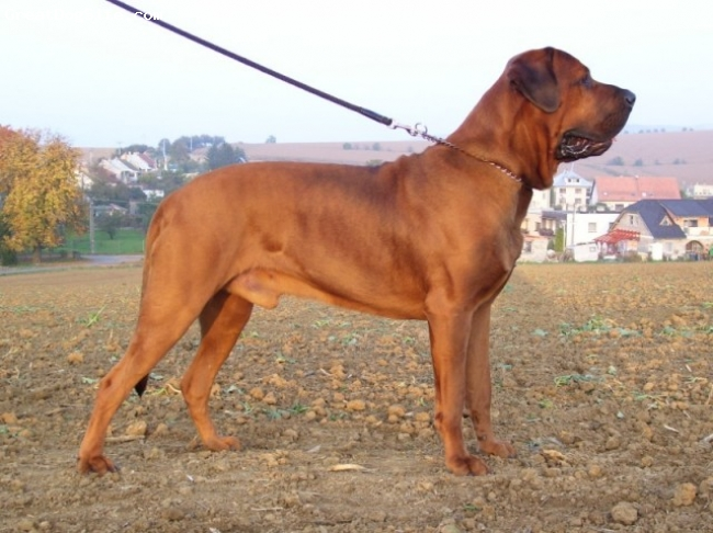 Tosa Inu, 2 years, Red, Malizi Doghouse kennel