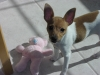 Toy Fox Terrier, 9 months, White and Tan