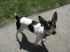 Toy Fox Terrier, 1 year, Tri
