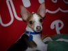 Toy Fox Terrier, 1, white,tan.black