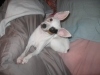 Toy Fox Terrier, 1.5 yrs, white, black tan