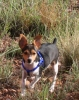 Toy Fox Terrier, 4 months, black, tan and white