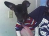 Toy Fox Terrier, 2yrs, Tricolor