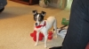 Toy Fox Terrier, 8 months, Tri-Color