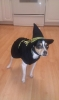 Toy Fox Terrier, 1.5 Years, Tri-Color