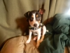 Toy Fox Terrier, 9 weeks, tricolor