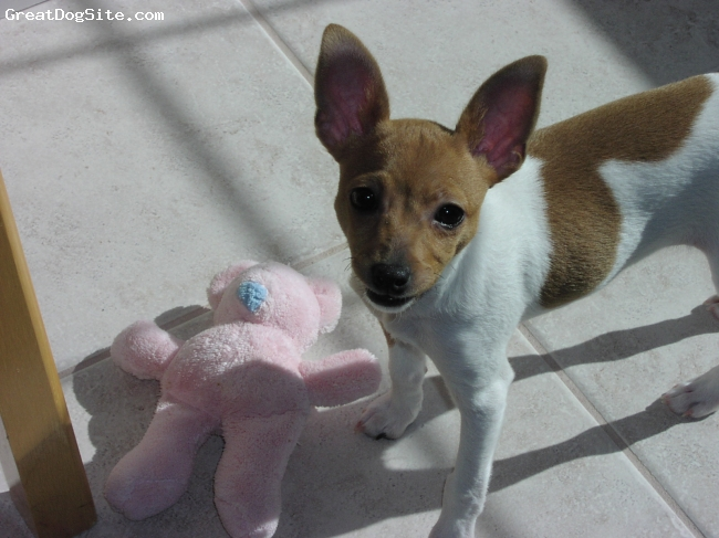 Toy Fox Terrier, 9 months, White and Tan, Sophie loves all types of toys
