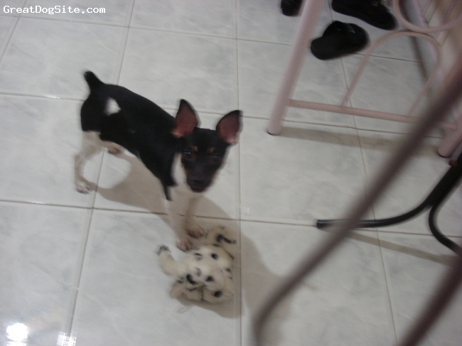Toy Fox Terrier, 4 months, black and white, She's so cute:D
