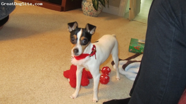 Toy Fox Terrier, 8 months, Tri-Color, First Christmas