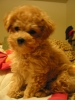Toy Poodle, 7 weeks, apricot
