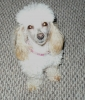 Toy Poodle, 1 1/2, Apricot