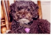 Toy Poodle, 13, Brown