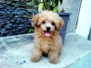 Toy Poodle, 3 months old, Apricot