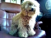 Toy Poodle, 10 months old, Apricot