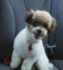 Toy Poodle, 18mo, Coco