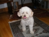 Toy Poodle, 8, White some tan