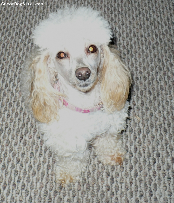 Toy Poodle, 1 1/2, Apricot, very loving