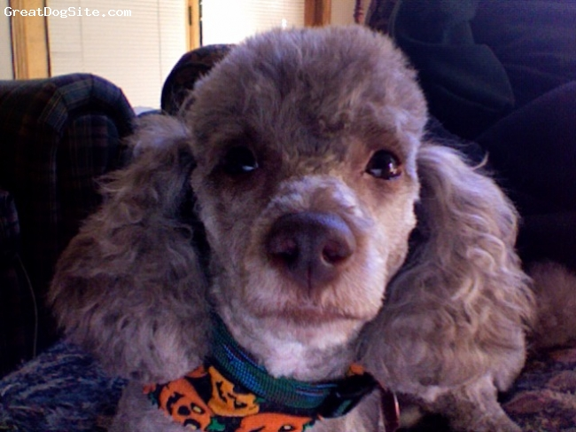 Toy Poodle, 4 years old, Chocolate brown, Very cute. Loves to kiss, and cuddle!