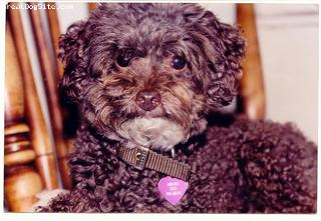 Toy Poodle, 13, Brown, A little brown toy poodle with brwon eyes and nose and a white chin.