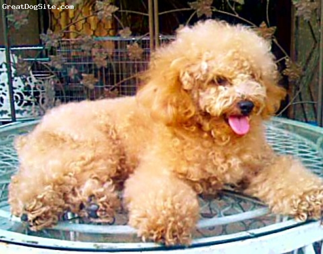 Toy Poodle, 1 year old, cream, Misha is my 1 year old toy poodle.