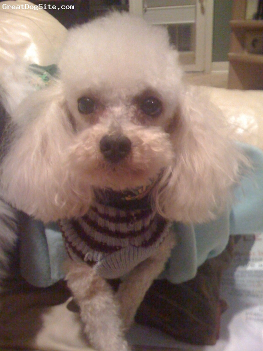 Toy Poodle, 5, Cream, Extremely intelligent and loving needs lots of attention