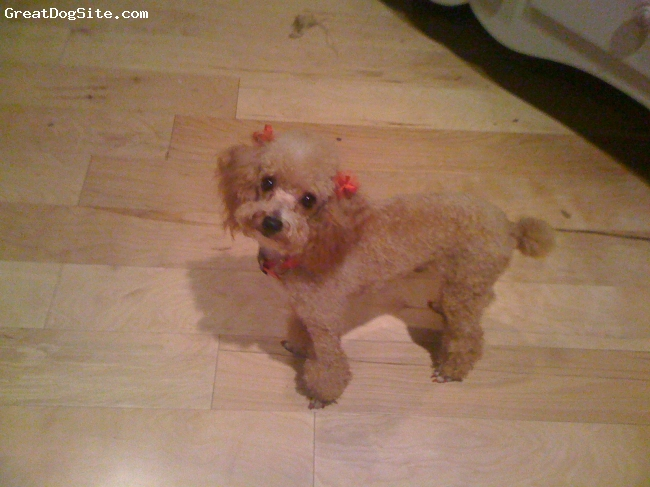Toy Poodle, 4, Red, Very sweet, demands a lot of attention, loving yet selfish.
