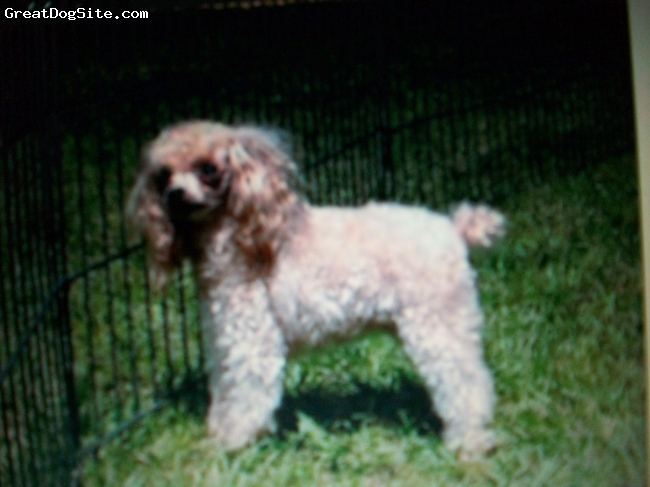 Toy Poodle, 2, cream, her love to play whe dogs she is good whe kids
