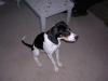 Treeing Walker Coonhound, 5 1/2, tri black white and brown