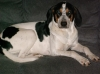 Treeing Walker Coonhound, 1 1/2, tri black white and brown