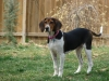Treeing Walker Coonhound, 9 mos, Tri colored