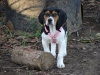 Treeing Walker Coonhound, 3 mos, Tri colored