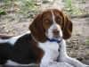 Treeing Walker Coonhound, 1, Brown and White