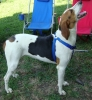 Treeing Walker Coonhound, 2, Tri-Color