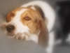 Treeing Walker Coonhound, 1, Tri-Color