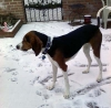 Treeing Walker Coonhound, 2, Tri color