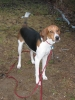 Treeing Walker Coonhound, 3yrs, Tri-color