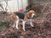Treeing Walker Coonhound, 7months, black/white/tan