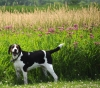 Treeing Walker Coonhound, 2, Tri